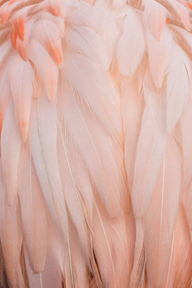Pink Feathers Of A Flamingo By Melanie Kintz For Stocksy United