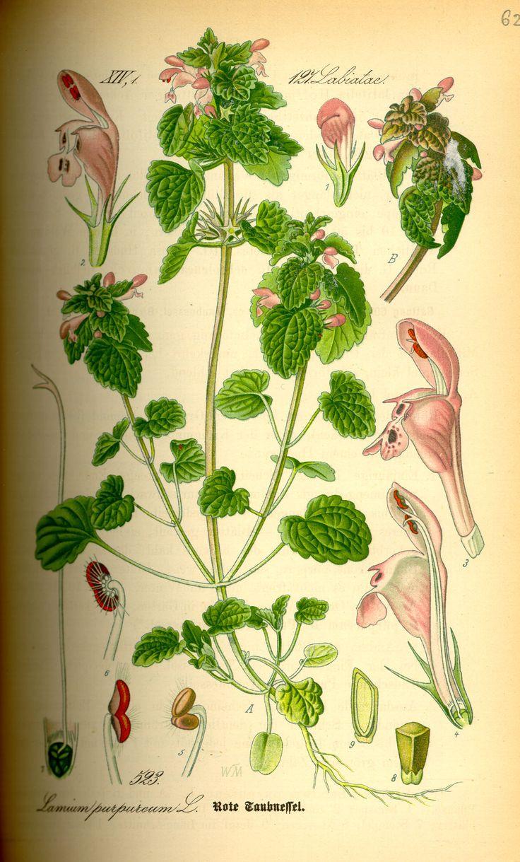 File:Illustration Lamium purpureum0.jpg