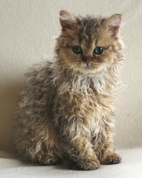 Don't you think this Selkirk Rex is adorable, what a fabulous coat.