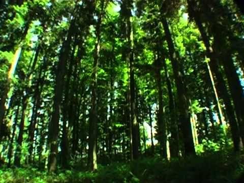 Звуки природы. Живой лес
