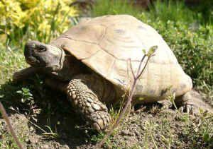 Testudo hermanni boettgeri - Griechische Landschildkröte