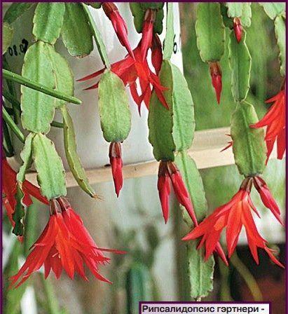 Лесной кактус Шлюмбергера