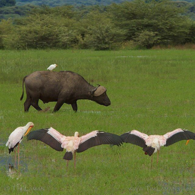 Photo by @TimLaman.  Yellow-billed Storks appear to bow to a passing African Buffalo with Cattle Egret passenger in the rich wetlands of Lake Manyara National Park, Tanzania.  Shot last month on the photo safari I was co-leading.  Head to @TimLaman to see more safari animals!  #Tanzania, #Africa, #elephant, #attitude, @thephotosociety, @natgeocreative.
