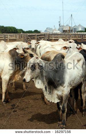 zebu logo | Zebu cattle at a huge ranch in Brazil, where cattle ranching is the ...