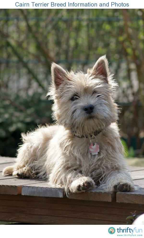 This is a guide about Cairn Terrier breed information and photos. Originating in the Highlands of Scotland and the Isle of Skye, this hardy breed was originally a working dog used to aid farmers in getting rid of pests such as foxes and badgers.