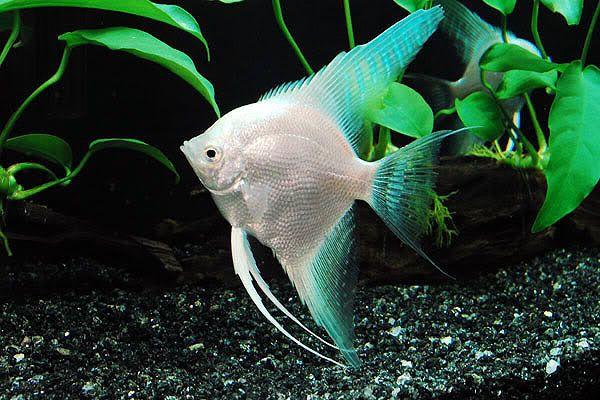 Platinum angelfish fish pinterest angelfish for Platinum koi fish