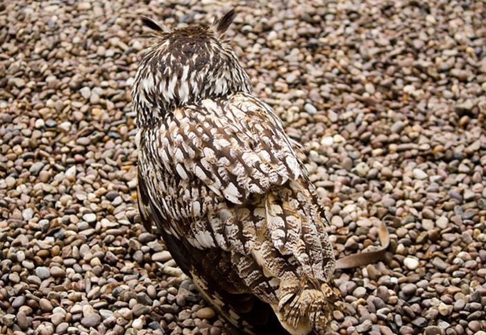 Stone peppered camo #owl