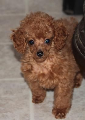 Poodle Puppies for Sale, Red Poodle, Miniature poodles, Toy Poodles