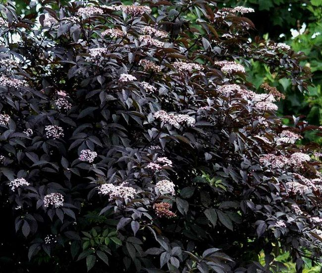 Black Beauty Elderberry 2