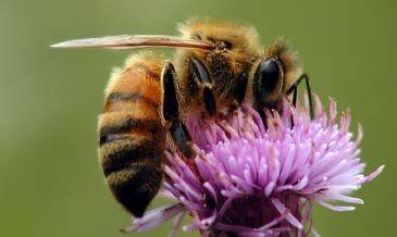 Ohio Bee Identification Guide | Ohioline
