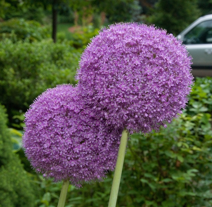 Want, but should have planted them this past fall:( oh well this fall.: Front Gardens, Giganteum Ornaments, Purple Pink Flowerhead, Giant Allium, Ornaments Onions, Allium Giganteum, Flowers, Food Festival, Beautiful Trends