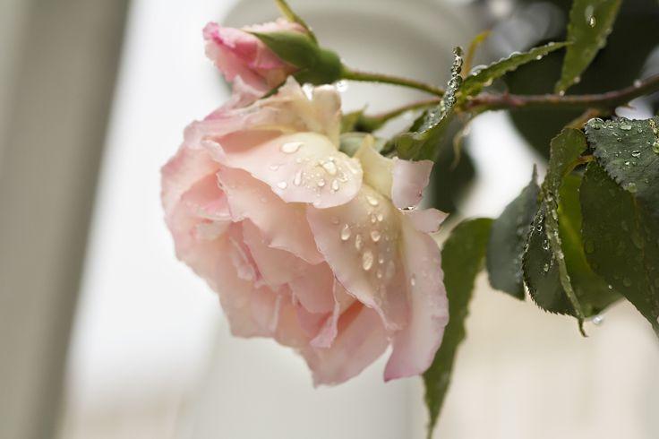 Дубровник Хорватия роза - нежная роза после дождя
