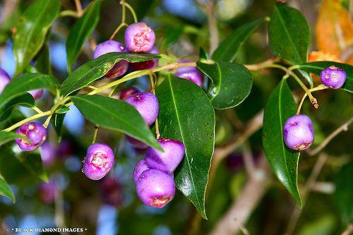 Blue Lillypilly Syzgium oleosum