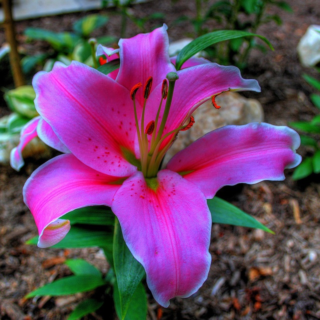 Star Gazer Lily...I would so get this tattooed on me in a heartbeat if it would look that clear