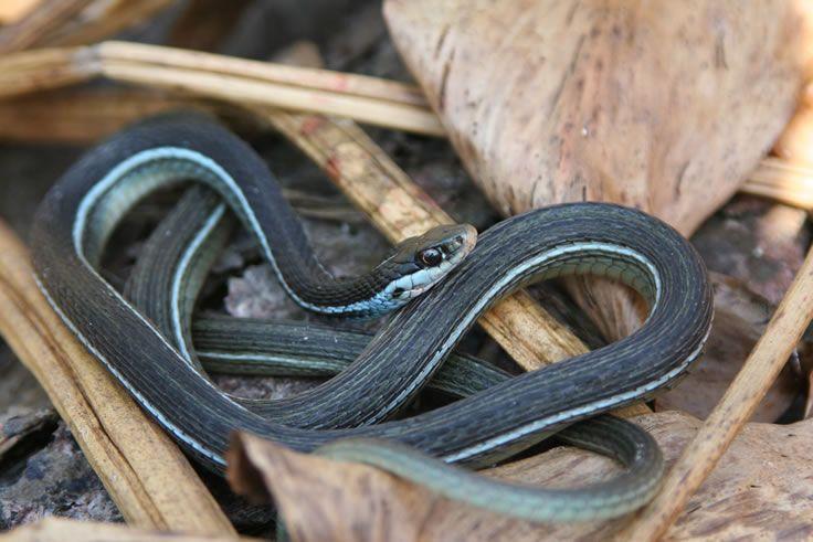 Image Result For Eastern Ribbon Snake Snake Beautiful Snakes Snake Venom