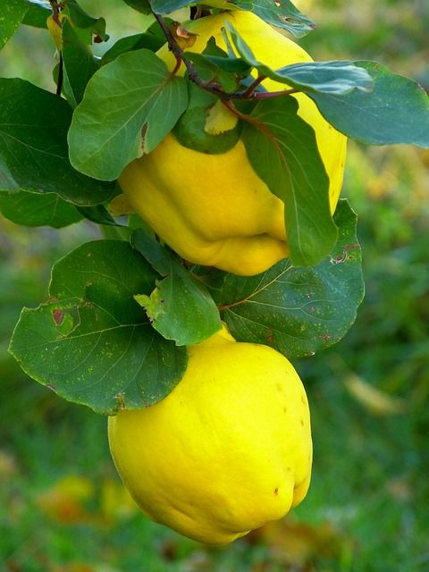 Quince Fruit, (We had a couple of flowering quince bushes when I was a kid, but they never produced fruit.)