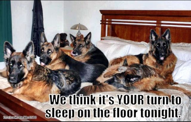 funny german shepherd pictures | Funny pets | German Shepherds