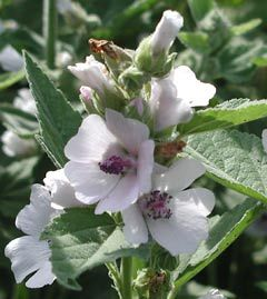 Marshmallow (Althaea officinalis) - Marshmallow protects and soothes mucous membranes. Its root counters excess stomach acid, peptic ulceration, and gastritis. It has the ability to bind and eliminate toxins, allowing the body to cleanse itself. It has demulcent qualities that bring relief to dry coughs, bronchial asthma, bronchial congestion, and pleurisy.