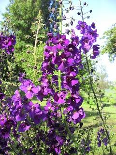 """Kongelys purpur """"Violetta"""" - Verbascum phoenicium"""