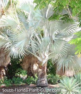silver bismarck palm with distinctly whiter color.  Mom has 1 in her front yard!