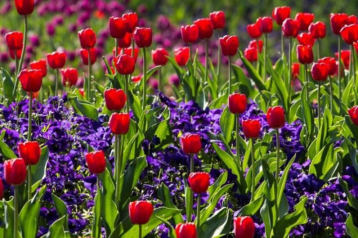 Tulips with Hyacinth (Red: Declaration of love, Yellow: Sunshine in your smile, cheerfulness)