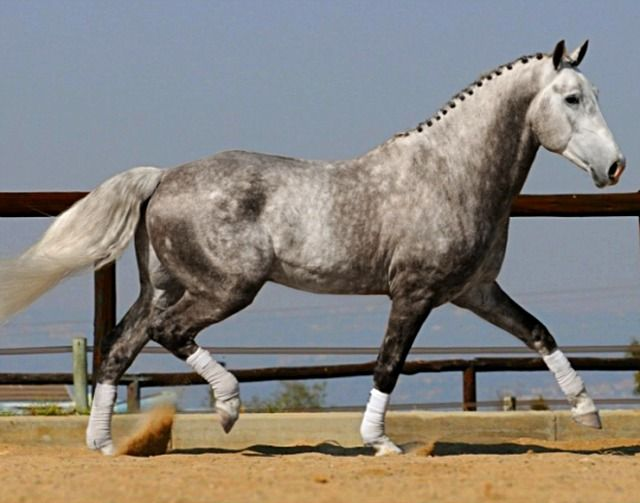 Irish Draught Horse, RID, stallion Rosenburg.