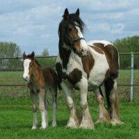 zigeuner paard ! Love xx# horses # nature