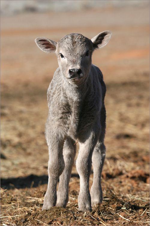 Gorgeous gray calf ~ Photo by Shreve Stockton