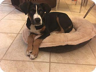 New York, NY - Bernese Mountain Dog Mix. Meet Bernie, a puppy for adoption. http://www.adoptapet.com/pet/18008270-new-york-new-york-bernese-mountain-dog-mix