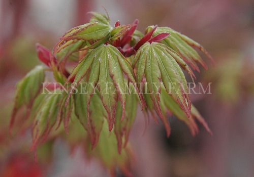 2007 best images about acer palmatum on pinterest scarlet red dragon and green leaves for Oriental garden gainesville ga