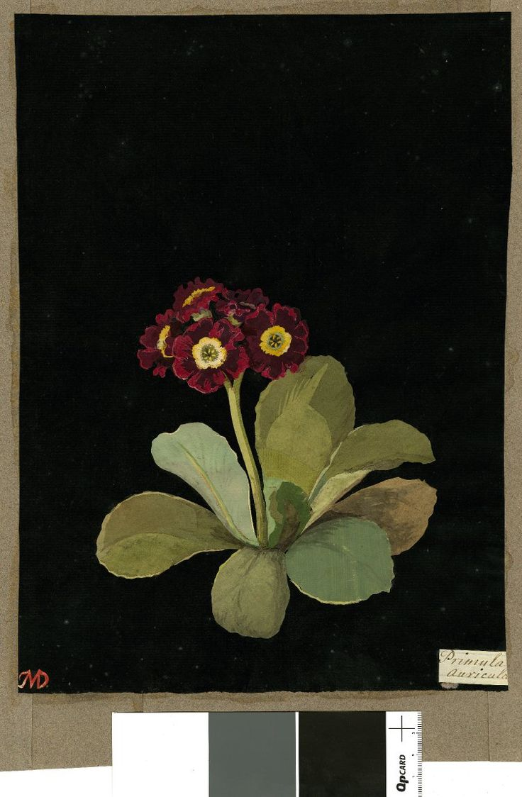 Primula Auricula var., from an album (Vol.VII, 99). 1778 Collage of coloured papers, with bodycolour and watercolour, on black ink background