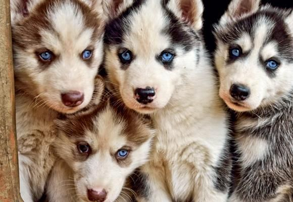 Siberianhusky Siberian Husky Husky Puppy Husky