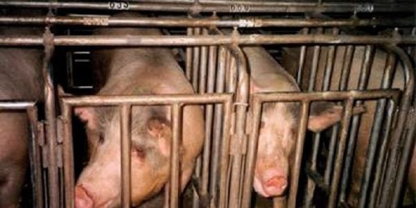 Demand an end to cruelty to farm animals!