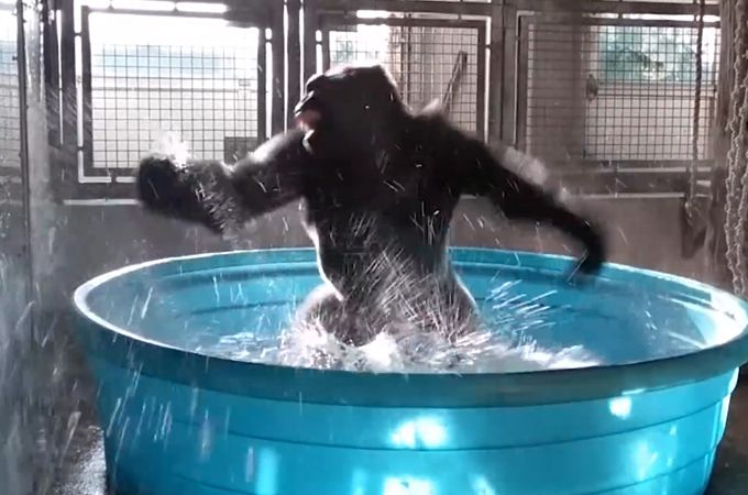 "This gorilla is now the animal kingdom's most famous dancer Sitemize ""This gorilla is now the animal kingdom's most famous dancer"" konusu eklenmiştir. Detaylar için ziyaret ediniz. http://www.xjs.us/this-gorilla-is-now-the-animal-kingdoms-most-famous-dancer.html"