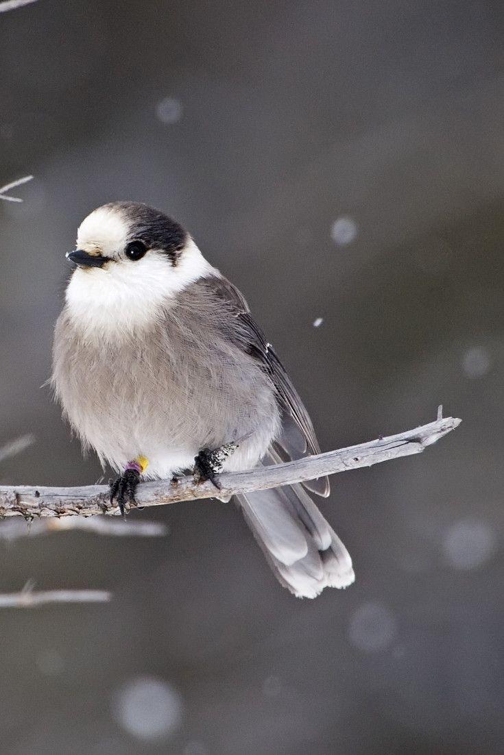 best 25 ontario birds ideas on pinterest