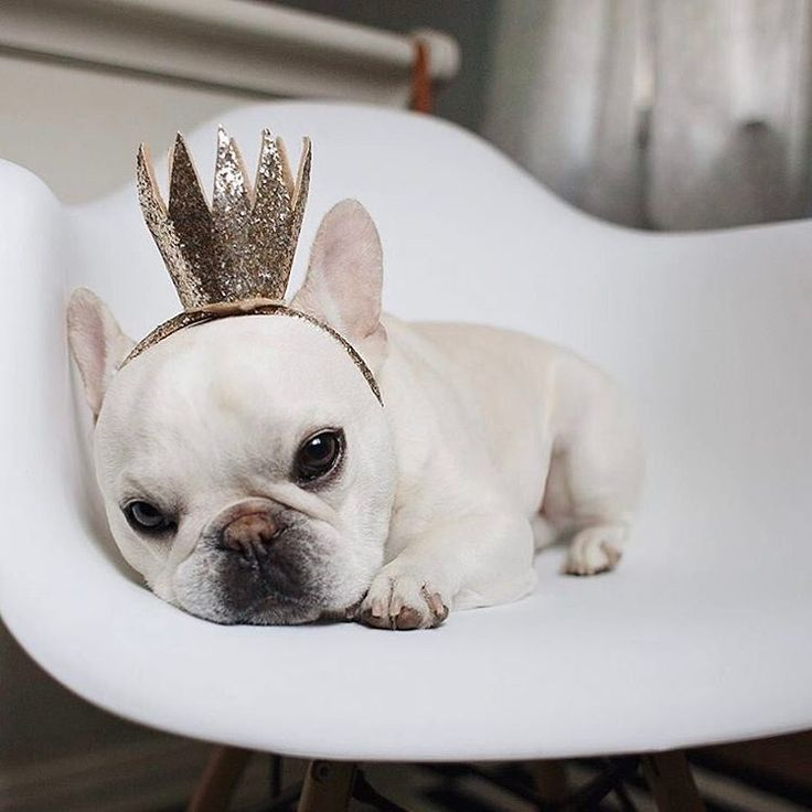 """Mom, but I'm a boy!"", Theo the French Bulldog does not enjoy being Mommy's little Princess ; }"