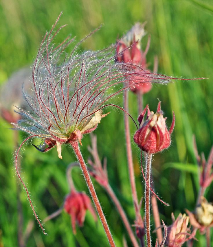 Native Wisconsin Plants: 24 Best Flowers To Identify Images On Pinterest