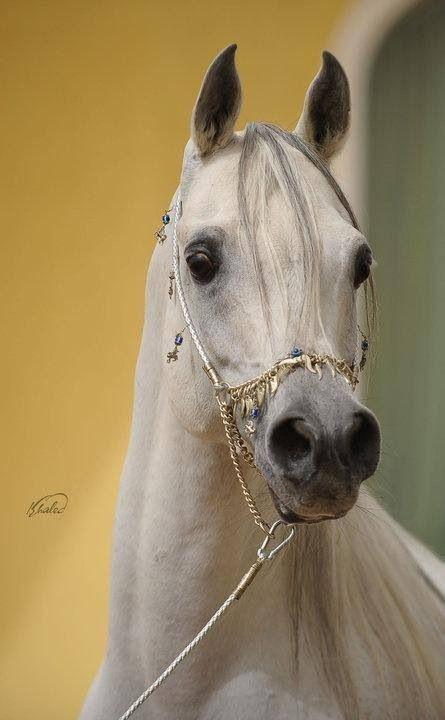 Arabian Horse ~ Arabian horses are supposed to have black skin, regardless of hair color