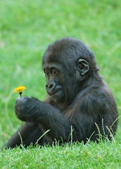 He is ADORABLE!!! - Baby gorilla picks flowers for a loved one. Photo Credit: Animal Space