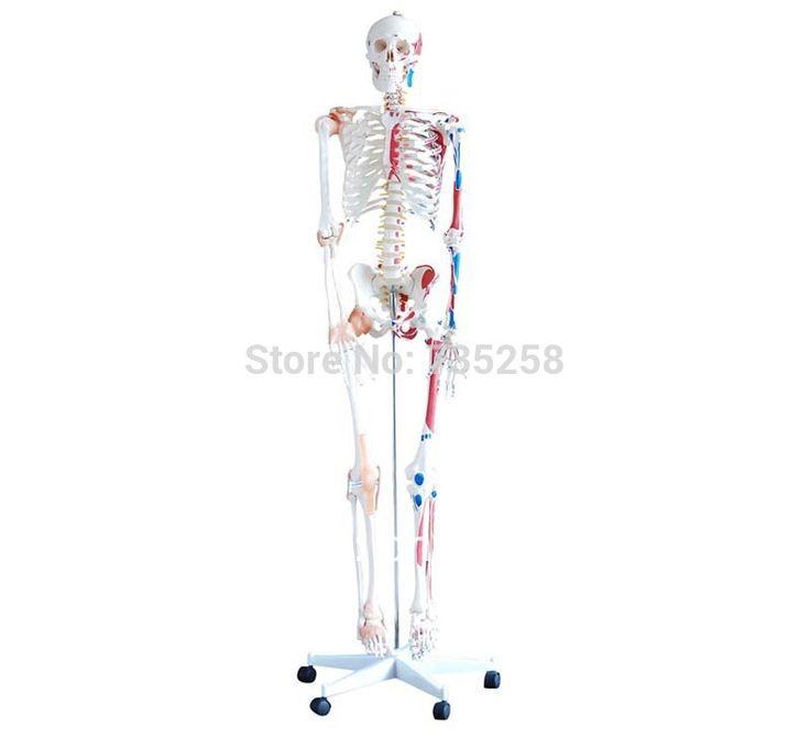 Скелет с мышцы и связки на 180 см в высоту, В человеческий скелет с связки модель