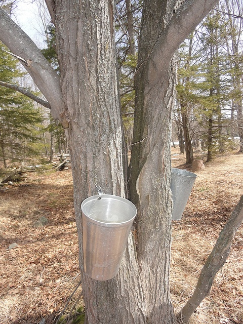 Maple Syrup Time on Manitoulin Island,