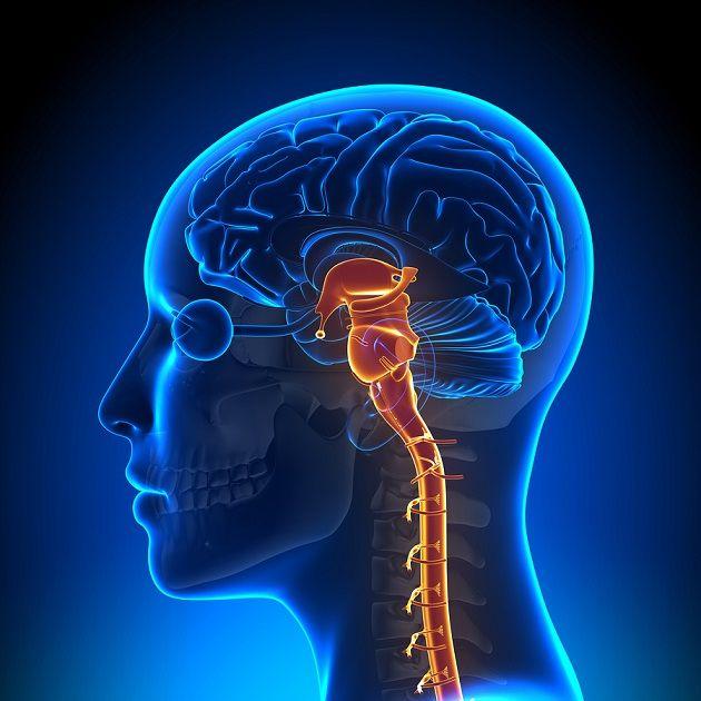 El tronco del encéfaloo tallo cerebral es un región cilíndrica del cerebro. Constituye la mayor ruta de comunicación entre el encéfalo y la médula espinal, y está formado por el mesencéfalo, la protuberancia y el bulbo raquídeo. Esta estructura cerebral…