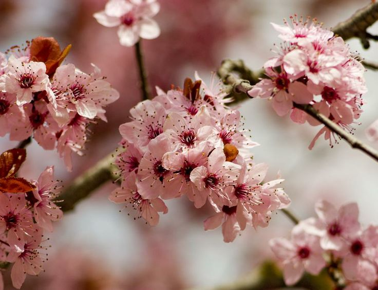 National flowers China and Taiwan Plum blossoms