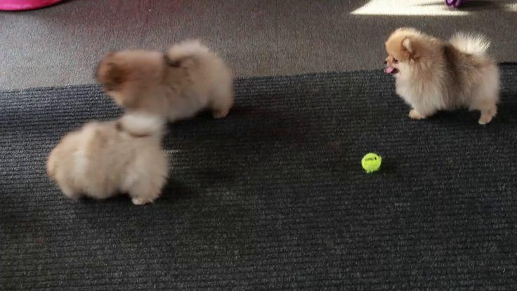 Baby Pomeranians | I Love Pomeranian