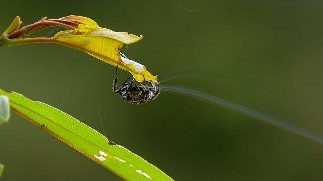 """Η """"αράχνη του Δαρβίνου"""" (Caerostris darwini) μπορεί να οικοδομήσει ένα κυκλικό ιστό μήκους 25 μέτρων, ενώ το μετάξι που εκκρίνει είναι το ανθεκτικότερο φυσικό υλικό που έχει μελετηθεί."""