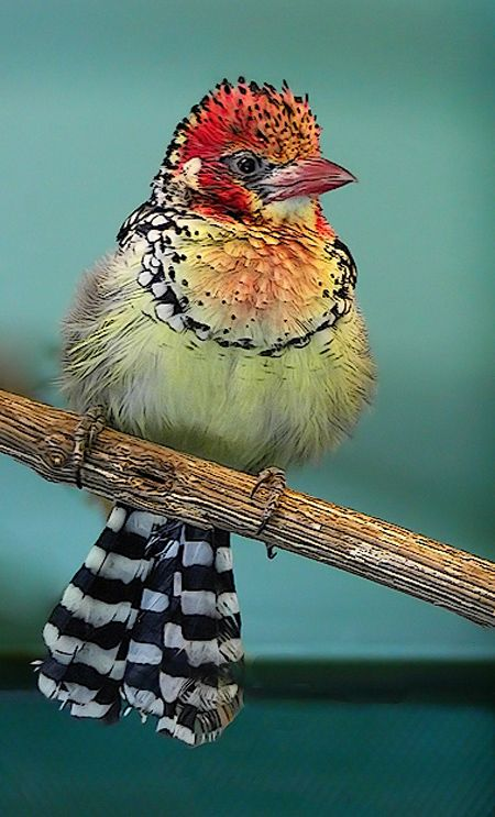 Crested Barbet (Young)
