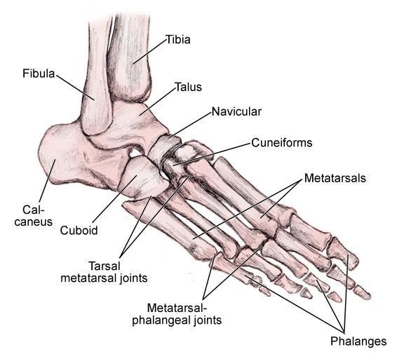 Foot Bone Anatomy Overview Tarsal Bones Gross Anatomy Metatarsal Bones Gross Anatomy Anatomy Bones Foot Bone Anatomy Gross Anatomy