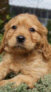 Cavador Puppies for Sale - Pines Pets