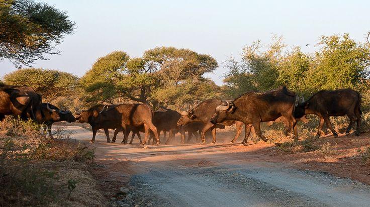 Buffalo traffic jam ~ Mokala National park