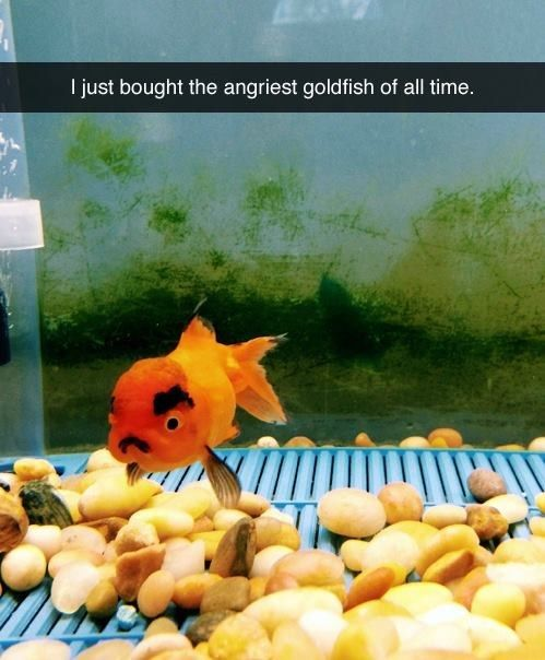 This goldfish who thinks that even if the glass IS half full, that's still not enough water. | 17 Of The Cutest Rage-Filled, Tiny Animals